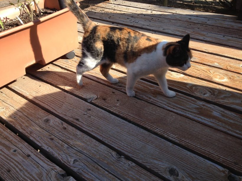 young calico