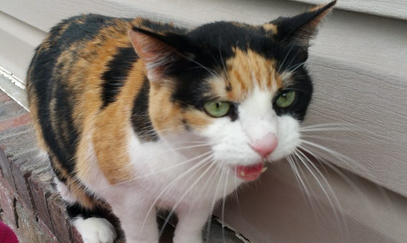 Found Calico Cat