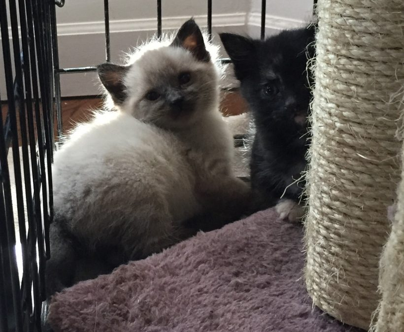 Kittens | Black, Tortie & Siamese