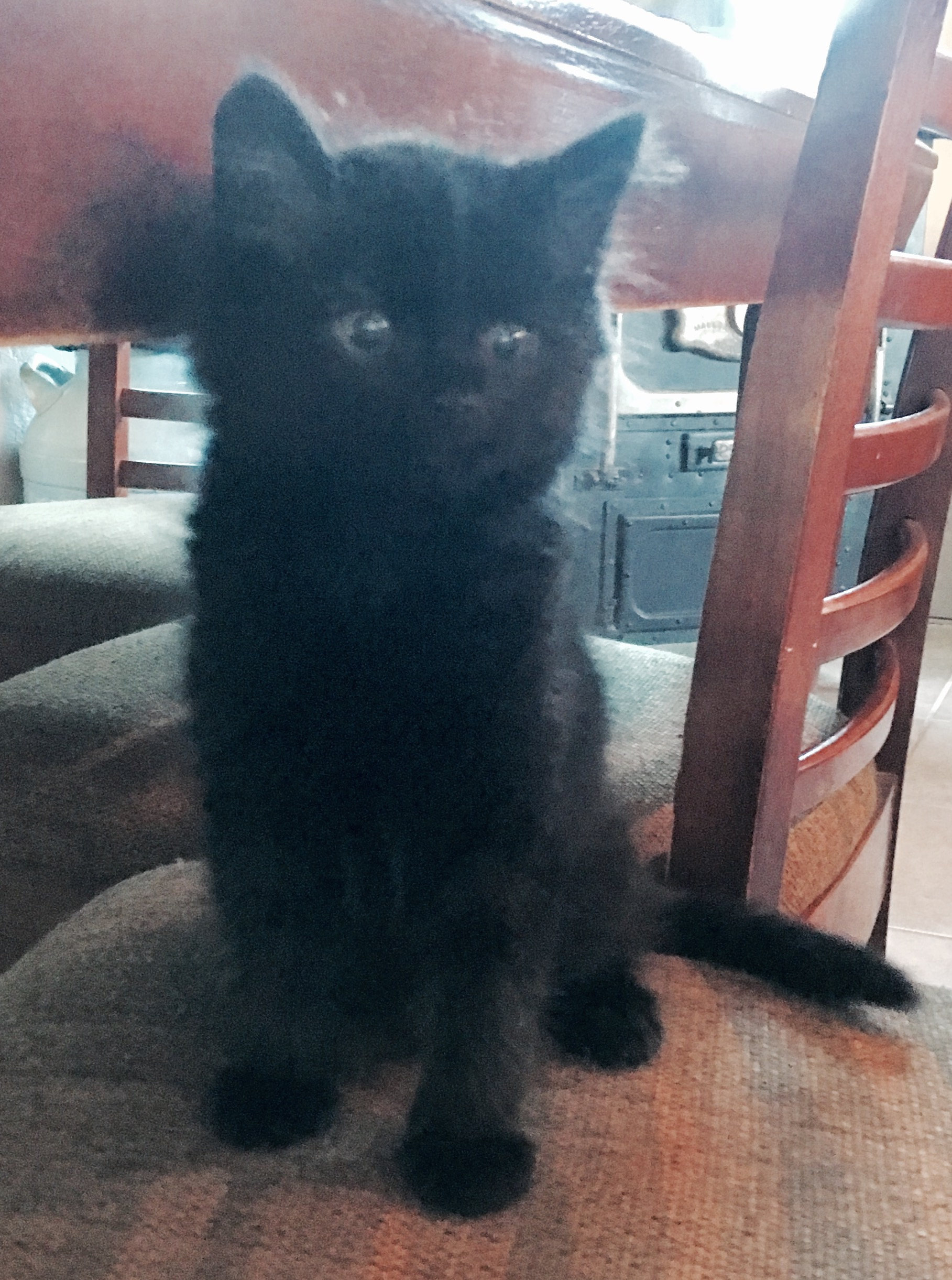 black, siamese and tortie kittens available for adoption