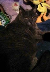 large grey cat named Blue