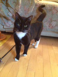 petite male tuxedo cat