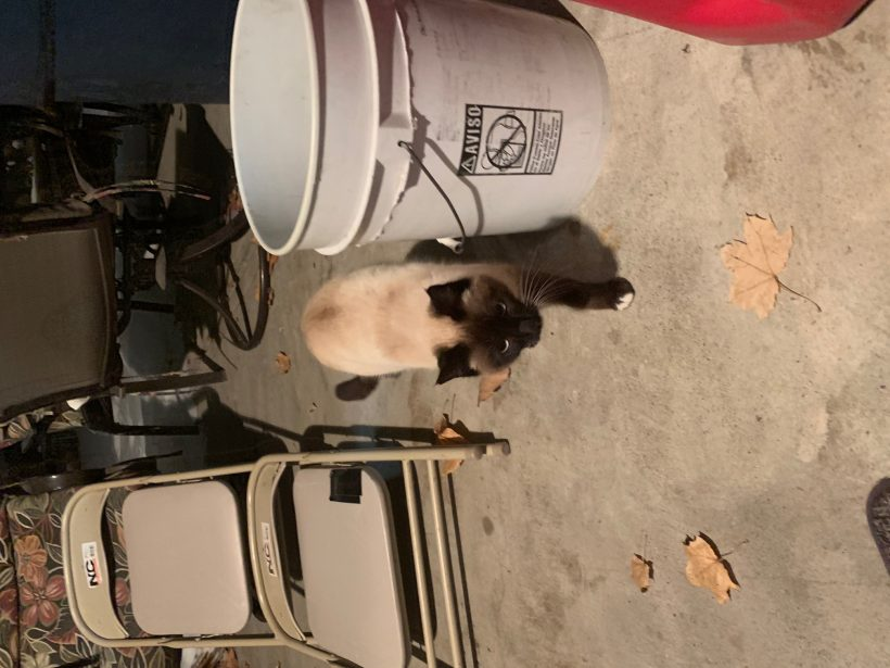 Found Cat – Female Siamese Cross