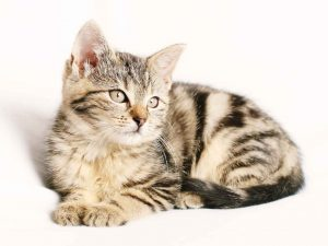 brown and cream colored tabby kitten